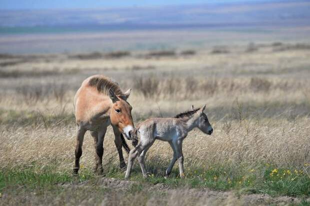 Первый жеребенок лошади Пржевальского появился на свет под Оренбургом ynews, жеребенок, заповедник, красная книга, лошадь лошадь пржевальского, рождение