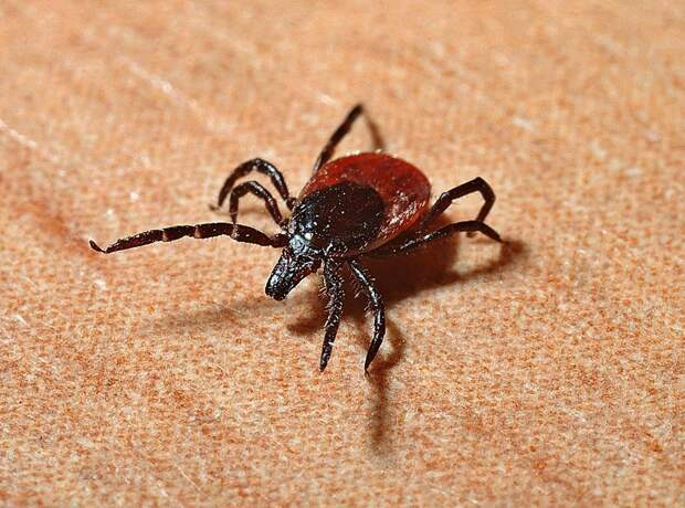 От укусов клещей в Удмуртии пострадало более 16,5 тыс человек