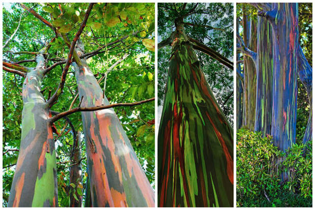Радужный эвкалипт деревья, невероятное, природа, удивительное, флора