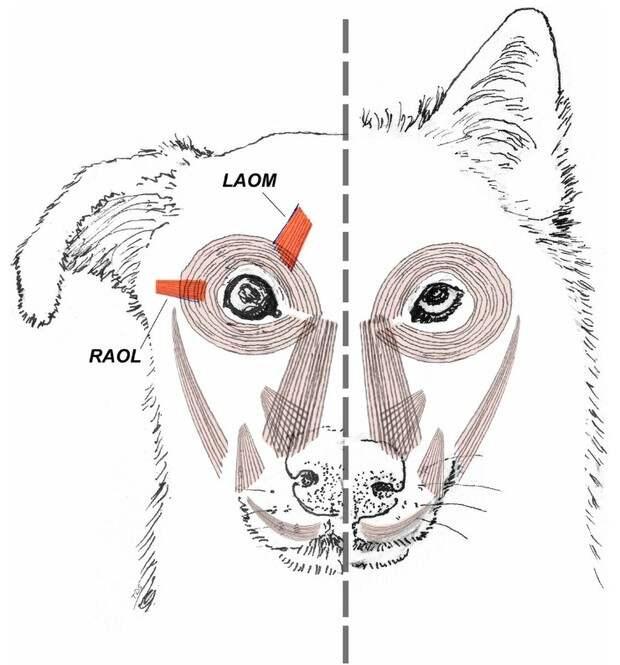 Как в ходе эволюции собаки научились делать жалостливую морду