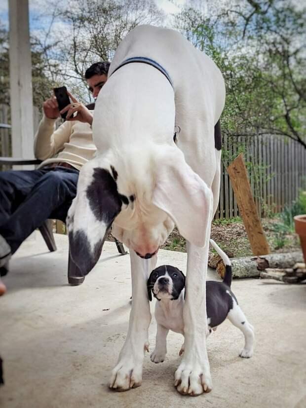 21 фото собак, которые не понимают, насколько они огромные выросли