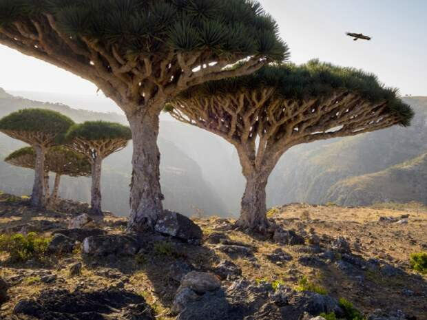 Одно из самых узнаваемых местных деревьев — драцена киноварно-красная, или дерево драконовой крови. Старинная легенда гласит, что некогда на острове жил кровожадный дракон…