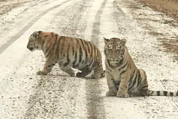 Пушистый рэкет: два тигрёнка в Приморье вышли на дорогу