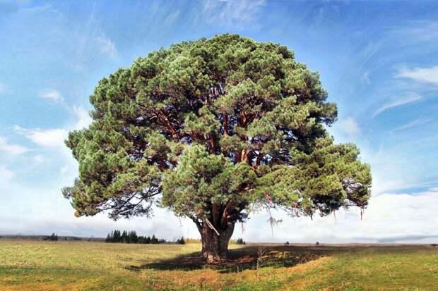 Сосна в Завьяловском районе Удмуртии может стать российским деревом года