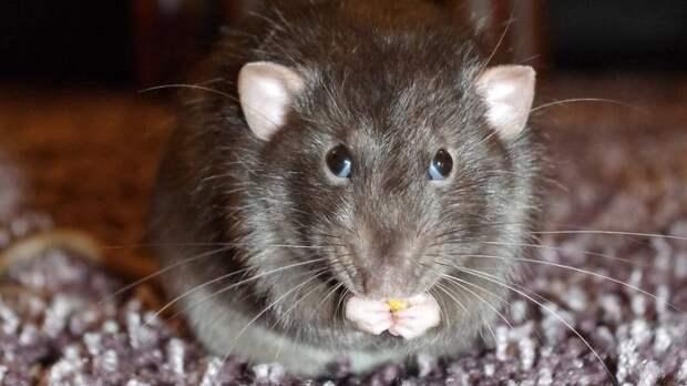 Жители улицы Фрунзе в Калининграде пожаловались на нашествие крыс