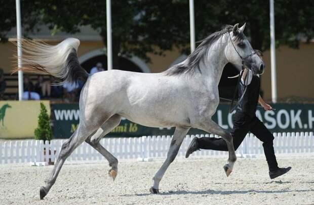 Арабская лошадь Шагия или бриллиант из Бабольна.