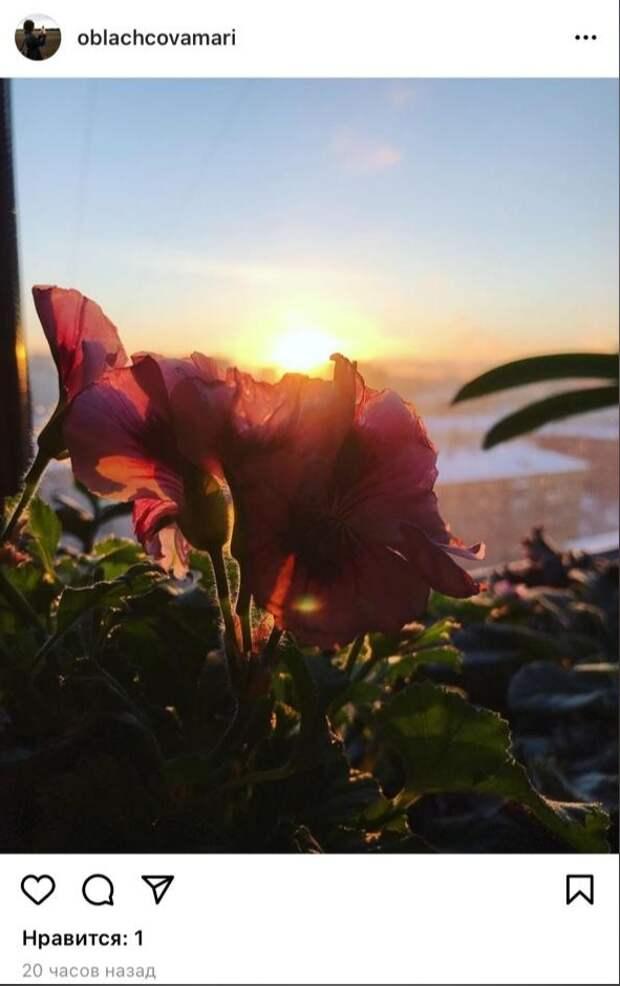 Фото дня: пеларгония   в лучах теплого Савеловского солнца