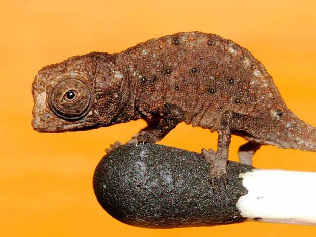 Ученые нашли на Мадагаскаре самых маленьких в мире хамелеонов
