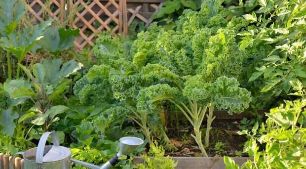 Что такое капуста кале и почему ее стоит посадить у себя на даче?