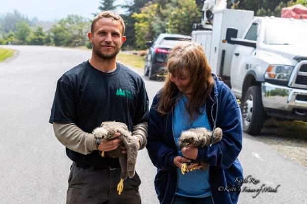 Спасение двух орланов, выпавших из гнезда
