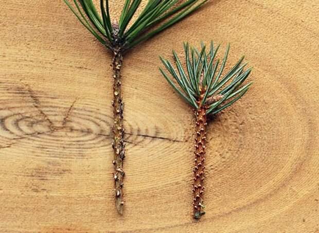Прививка хвойных растений, как привить хвойные растения вприклад, подготовка черенков