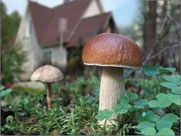 САД, ЦВЕТНИК И ОГОРОД. Какие грибы можно вырастить на даче
