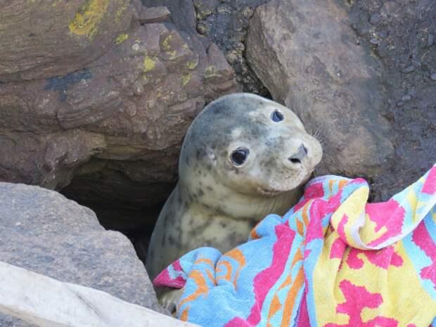 спасённый тюлень