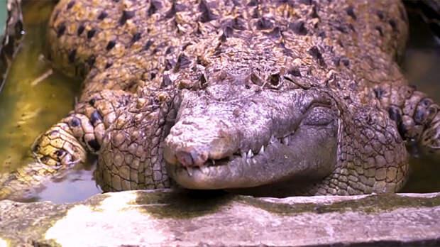 Домашний крокодил: в индонезийской семье больше 20 лет живет 200-килограммовая рептилия