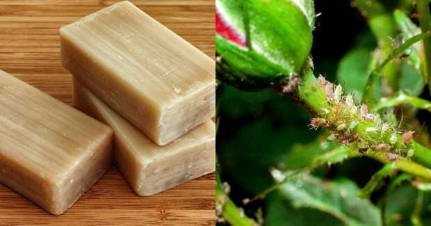 как избавиться от тли с помощью хозяйственного мыла