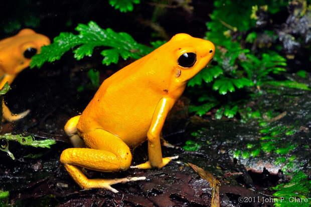 Самая ядовитая лягушка в мире