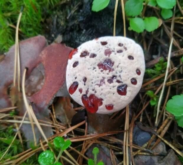 Гриб с кровавыми слезами нашли в лесу под Новосибирском