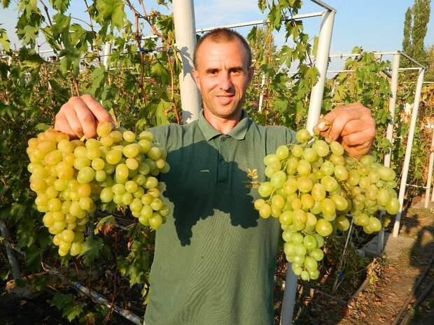 Картинки по запросу Виноград