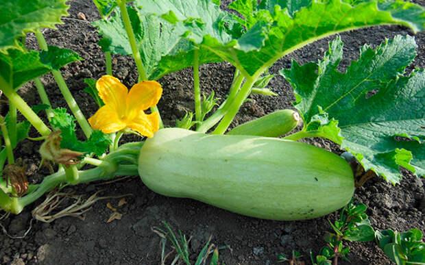 Как вырастить богатый урожай кабачков в открытом грунте