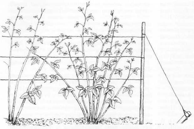 Как ухаживать за малиной. Советы для начинающих садоводов