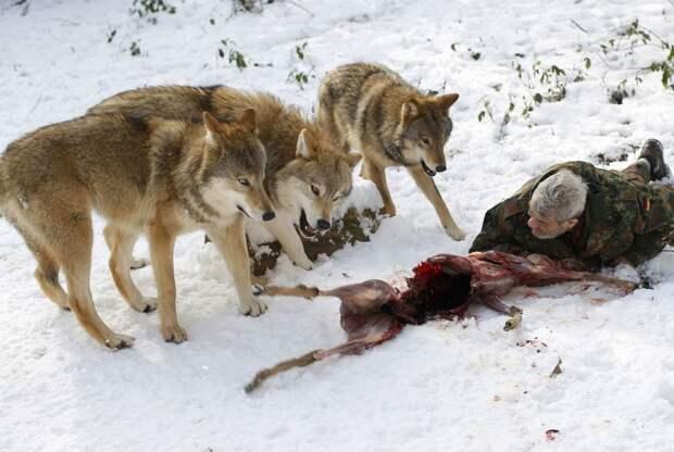 Волки — жизнь в стае и изучение их повадок ученым Вернером Фройндом
