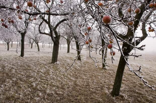 Зимой сад страдает от морозов