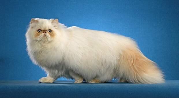 самые дорогие кошки: Гималайская порода. фото