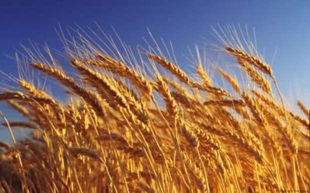 """""""Московская биржа"""" начинает торги поставочными фьючерсами на пшеницу"""