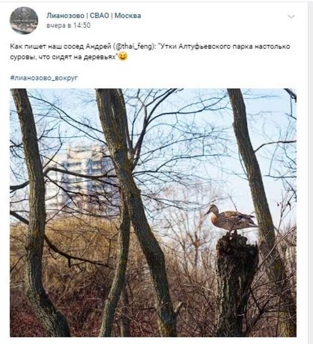 В усадьбе Алтуфьево утка лазает по деревьям