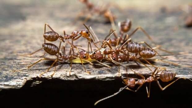 Индийские прыгающие муравьи оказались способны изменять размер мозга