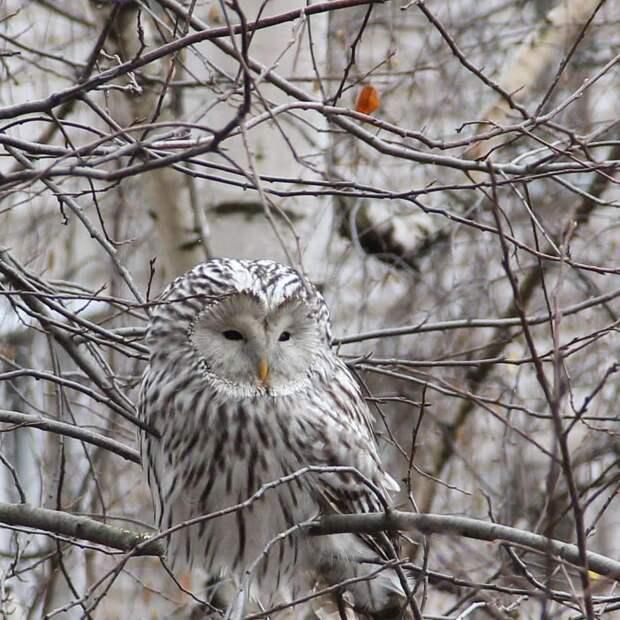 Редкую краснокнижную белую сову сфотографировали на улице Ижевска
