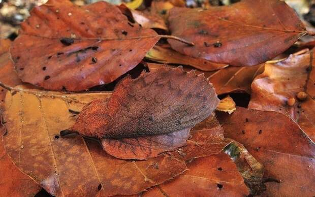 И бабочки животные, интересное, красота, мимикрия, природа, спрятались