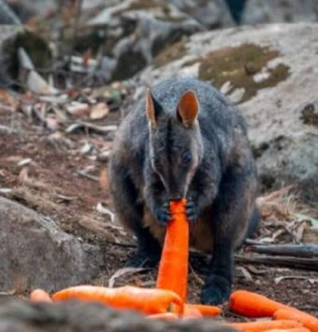 После пожаров в Австралии животные стали голодать. К счастью, тонны овощей посыпались на них, как из рога изобилия