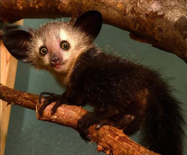 Мадагаскар лемур айе-айе