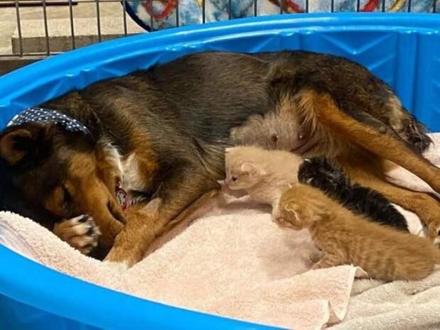 Овчарка из Австралии, потерявшая щенков, стала мамой троих котят