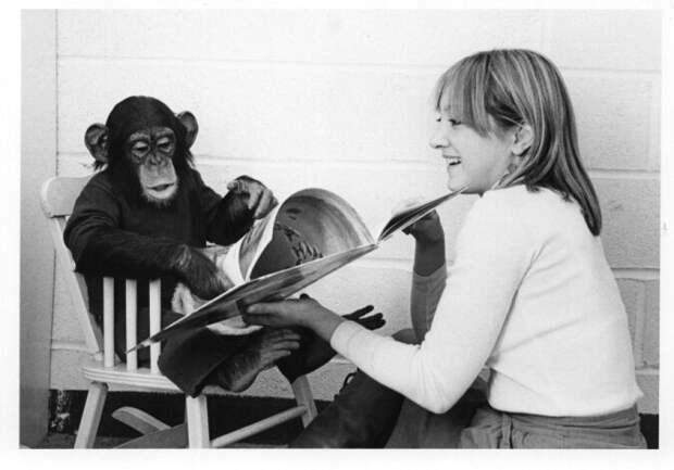 Проект Ним: можно ли очеловечить обезьяну, если растить её в семье как обычного ребёнка и что из этого вышло