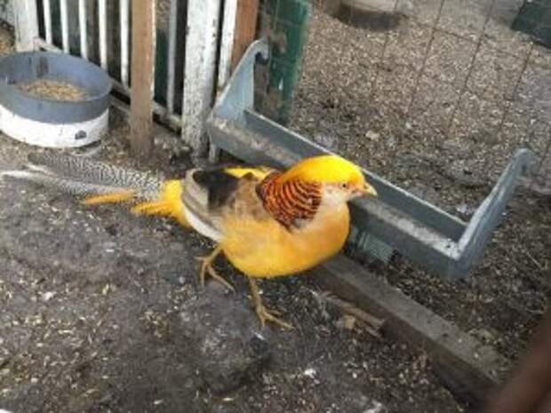 В сквере на Олонецом поселились лимонные фазаны