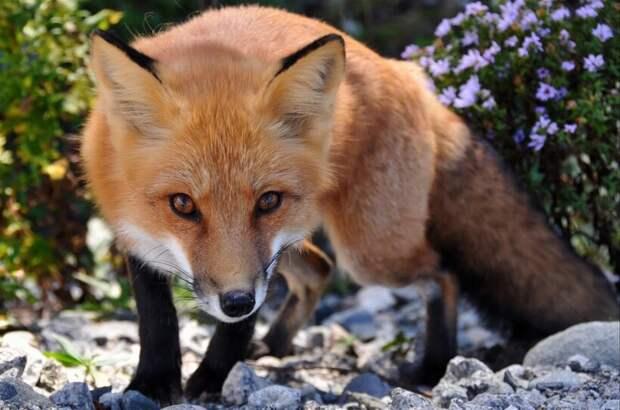 Вместо собаки: почему лисы сами хотят стать домашними