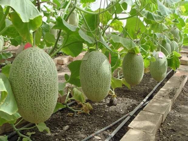 Картинки по запросу выращивание клубники в теплице