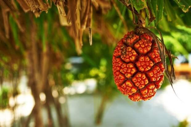 Пандан еда, мир, необычный, путешествия, страшный, фрукты