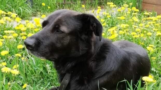 Огромный добрый пёс ехал в машине, не зная, что хозяева бросят его в поле и уедут прочь