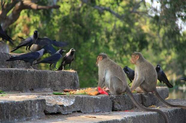 Когнитивные навыки воронов оказались развиты намного сильнее, чем у обезьян
