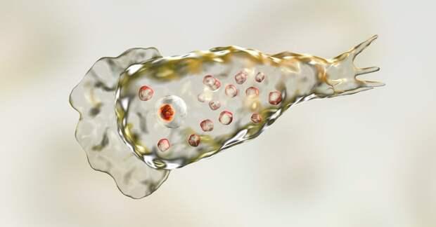 В Америке обнаружили амебу, которая пожирает мозг человека с летальным исходом