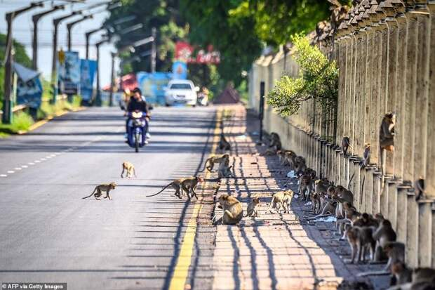Как агрессивные макаки терроризируют целый город вТаиланде