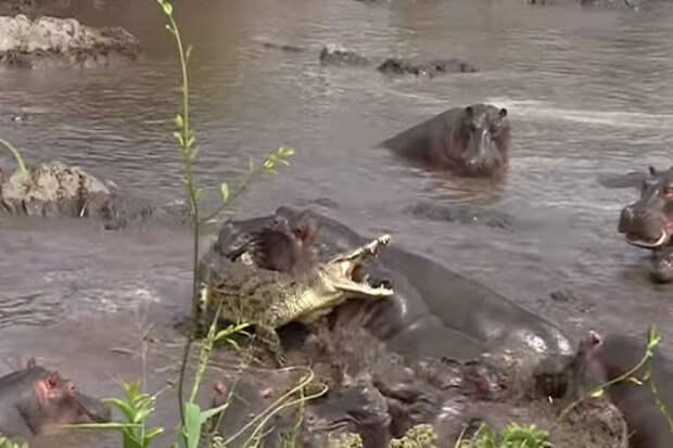 Битва крокодила со стадом бегемотов: жесткий урок для огромного хищника
