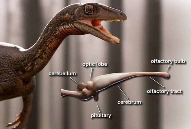 Ученые впервые смогли восстановить мозг динозавра
