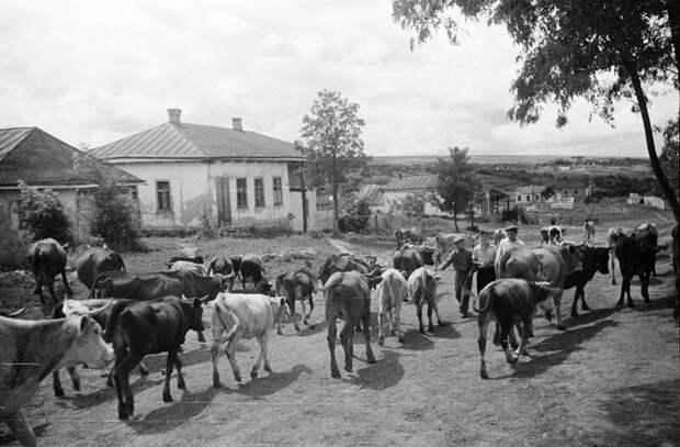 А вечером с пастбища вернутся коровы.... деревня, история, факты