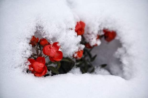 Мороз без снега: что делать с растениями на даче?