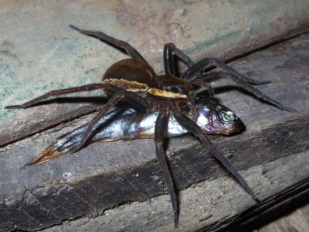 Они уже ползут затобой: топ-10 жутких австралийских пауков-убийц