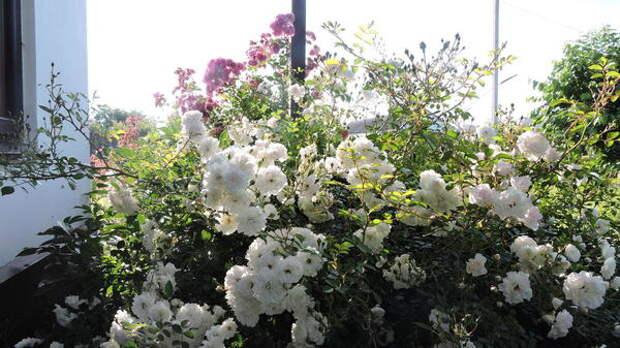 Почвопокровная Swany - невысокий куст с мелкой красивой листвой и белоснежными цветками. Фото с сайта kupirozi.ru